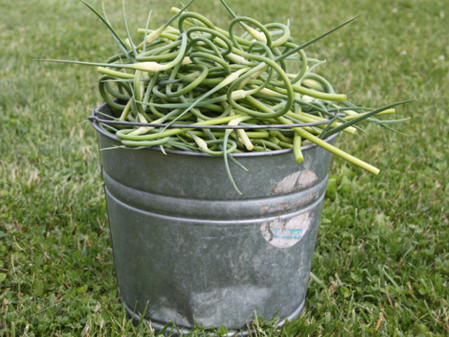 A bucket full of scapes