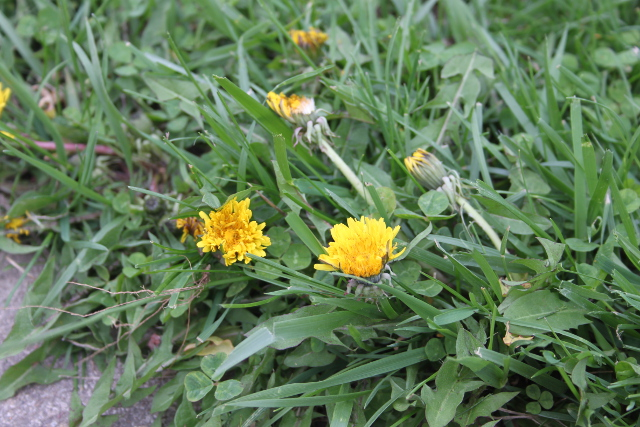 Dandelions:  Love Them Or Hate Them?