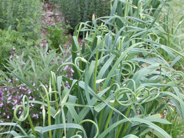 Garlic Scapes herb garden