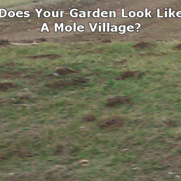 Controlling Moles In Your Garden and Lawn